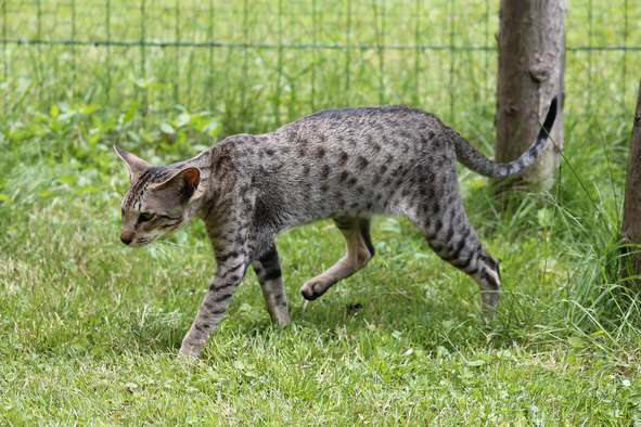 Oriental brown spotted tabby, I love you des Clos Lucile