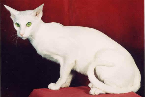 chat siamois oriental balinais mandarin peterbald blanc. Black Bedroom Furniture Sets. Home Design Ideas