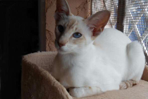 Siamois cinnamon silver tabby point, Hanya des Temples d'Orient